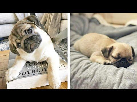 AWW SOO Cute and Funny Pug Puppies - Funniest Pug Ever #30 #Video