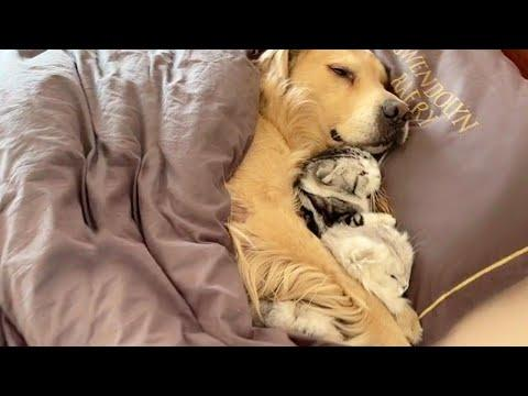 Golden Retriever and Cats Snuggled Up In Bed Video