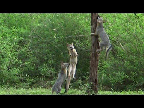 Flying foxes video: Did you know that gray foxes can climb trees?