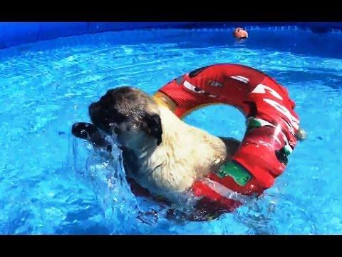 Pugs Love Pools Compilation
