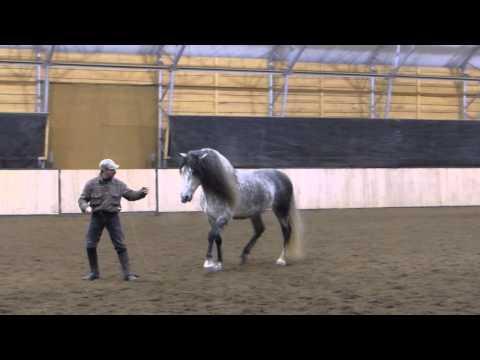 Mystique's Padrino - Andalusian Stallion At Liberty