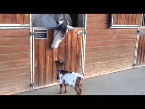When Horse And Goat Meet...this Happens.