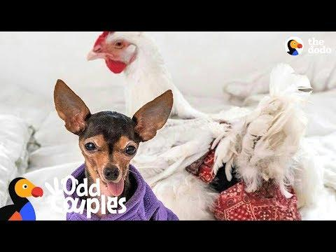 Chihuahua Loves His Favorite Chicken More Than Other Dogs | The Dodo Odd Couples