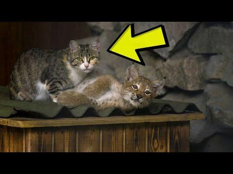 Something Unbelievable Happens When Zookeepers Lock This House Cat In With A Lynx Video