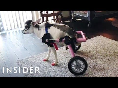 Disabled Mini Cow Can Walk For The First Time With Adjustable Wheelchair