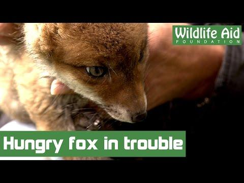 Hungry Little Fox Baby Gets His Head Stuck In A Can