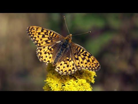 Butterfly Conservation Lab Video: Behind The Scenes