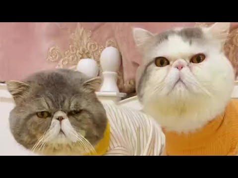 Grumpy Cat Family Video