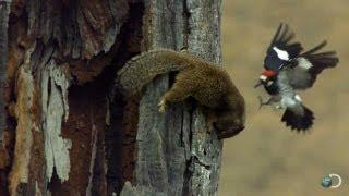 Woodpecker Fends Off Squirrel | North America