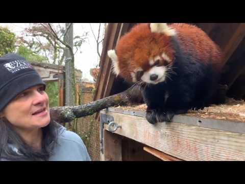 Get Reddie to Meet Moshu the Red Panda