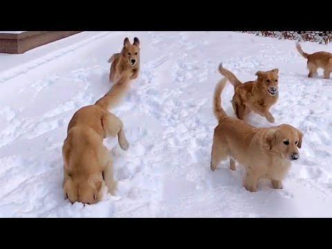 Playful Snowy Golden Retrievers Video