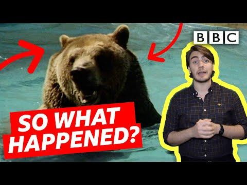 Crazy story of a Bear who escaped and became world famous video!
