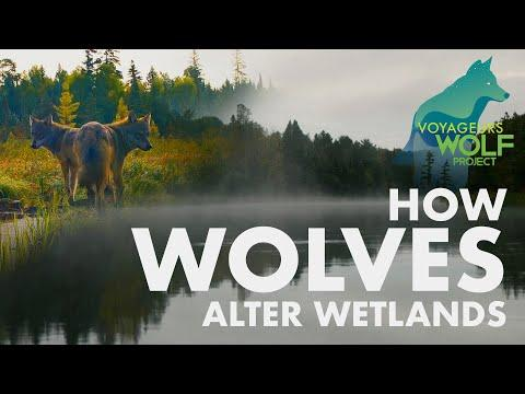 How wolves alter wetlands #Video