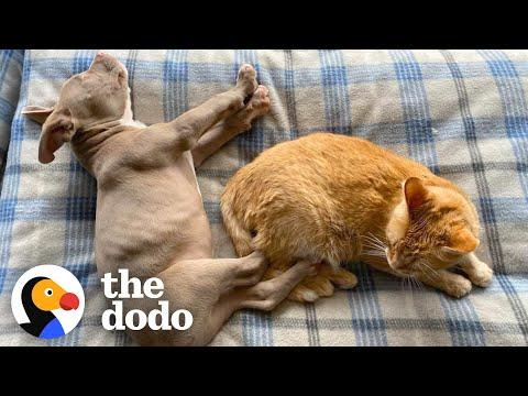 Blind Pittie Puppy Makes His Cat Brother And Family Whole Again #Video