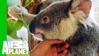 Crikey The Koala Is Ready To Be Released Into The Wild | Dodo Heroes