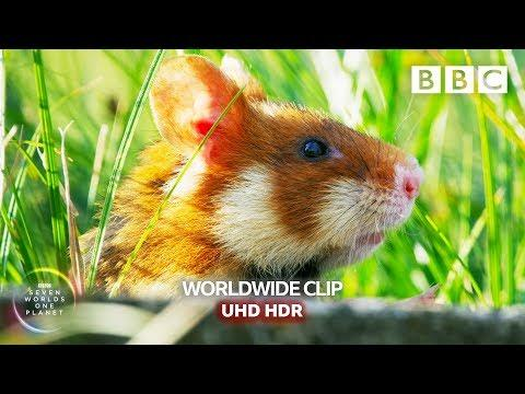 Wild Hamsters Fight Over Delicious Candle Wax. ‎David Attenborough