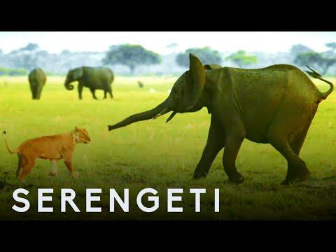 Elephant Protects Baby Brother From Lions | Serengeti: Narrated by John Boyega | BBC Earth