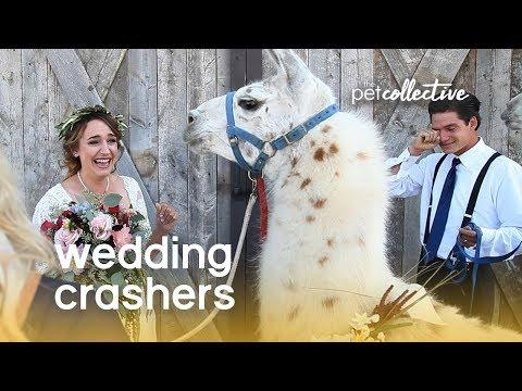 (Pet) Wedding Crashers | The Pet Collective