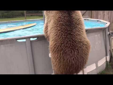 Bruiser Bear Goes For A Swim
