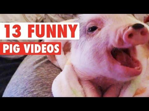 Funny PIgs Compiliation
