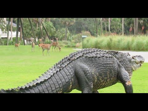 Massive Alligator Takes Casual Stroll Through Golf Course Video