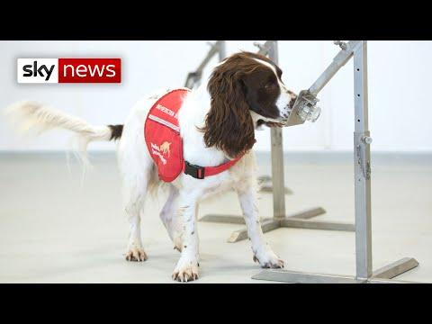 Coronavirus Video: Dogs trained to sniff out COVID-19