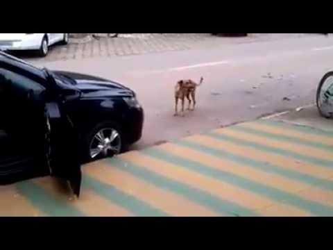 Dog Keeps Perfect Time To The Music