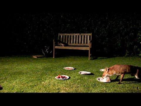 A Feast Fit For A Fussy Fox - Nature's Boldest Thieves