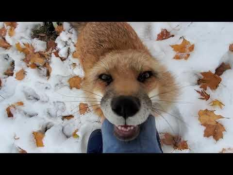 Finnegan hehehe Fox Friday. SaveAFox Video