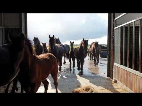 Come in Friesian horses!