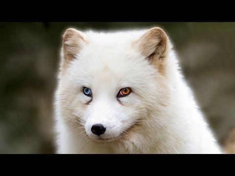 10 Most Beautiful Foxes in the World