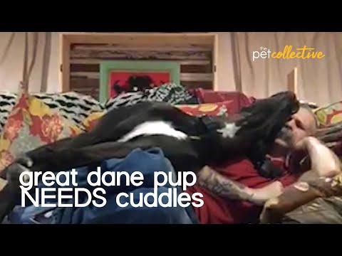 Great Dane Cuddles With Pet Parent Video