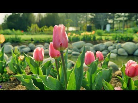 Tulip Festival in 8K Video
