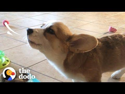 This Corgi Puppy Loves To Howl While She Eats | The Dodo