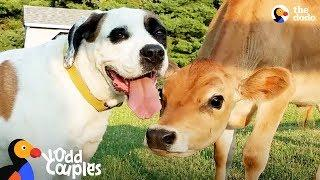 Dog Turns Lonely Baby Cow Into A Happy Puppy | The Dodo Odd Couples