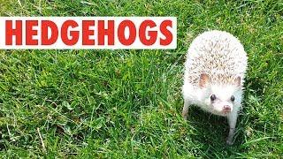 Happy Hedgehogs | Funny Pets Video Compilation