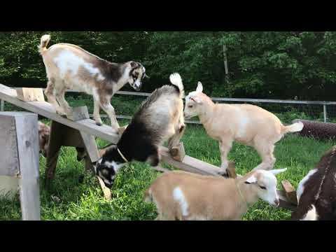 Goat Kids Slip & Slide