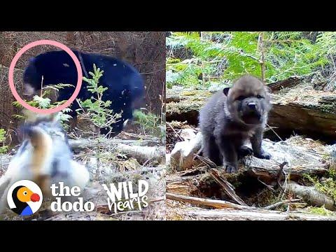 Tiniest Fuzzy Cubs Grow Up Into Gorgeous Wolves Video | The Dodo Wild Hearts