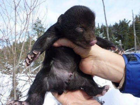CRYING BABY BEAR (SURPRISE ENDING!) #Video