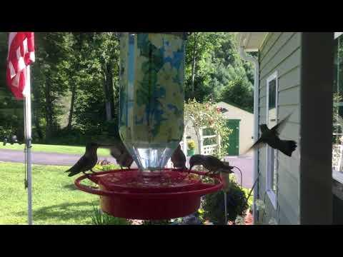 Hummingbirds Outside My Dinning Room Window