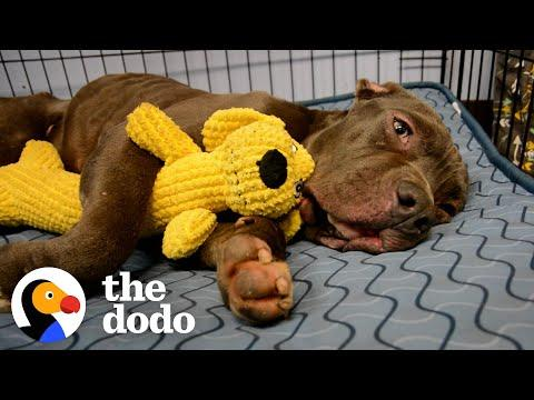 Scared Pittie Wouldn't Leave The Plum Box He Was Found In #Video
