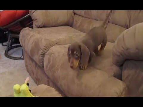 Dachshunds Are Awesome Compilation