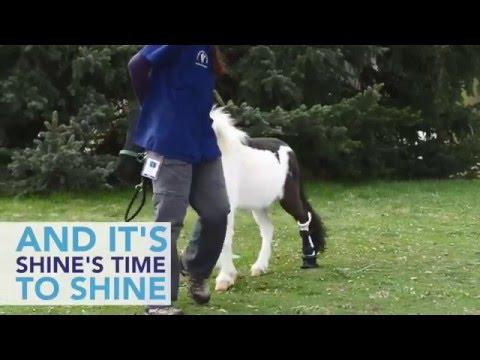 Miniature Pony Gets Prosthetic Leg To Save His Life
