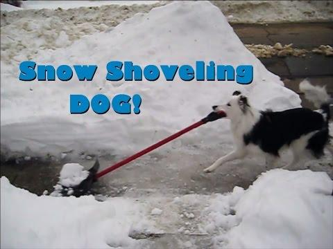 Snow Shoveling Dog - Paige The Border Collie
