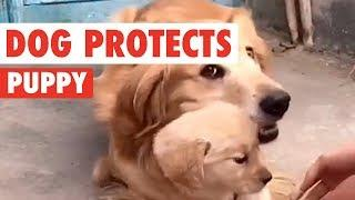 Golden Retriever Dad Protects His Puppy