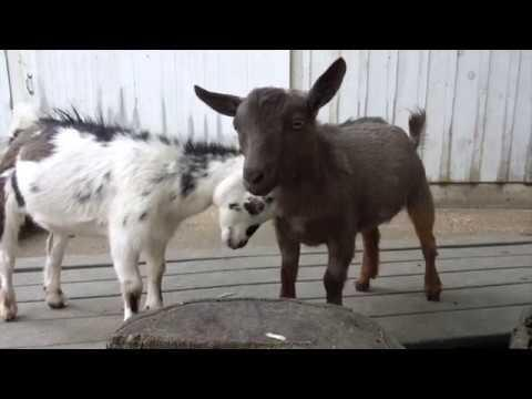 Cute goats frolicking and having fun