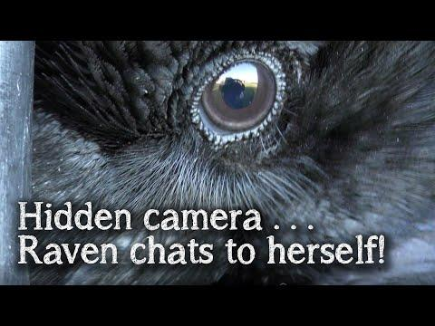 Fable the Raven | Hidden Camera | Raven talking to herself
