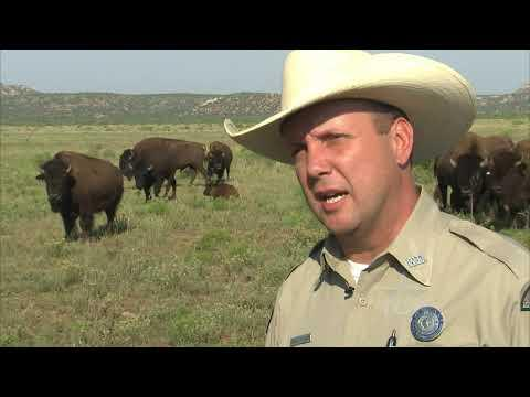 Caprock Canyons Bison Keeper Video - Texas Country Reporter