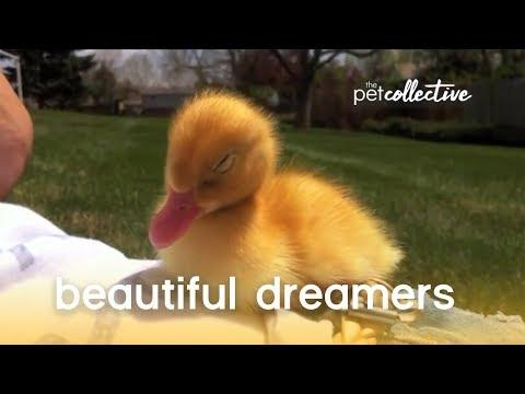 Beautiful Dreamers - Pet Edition