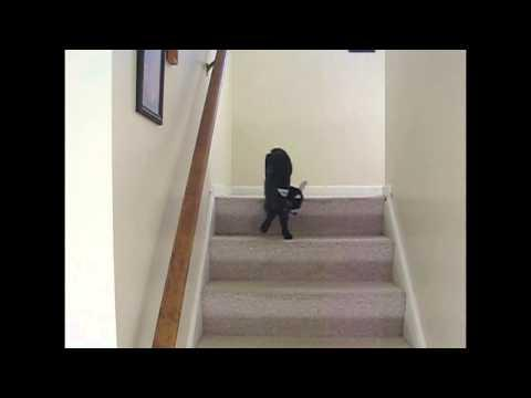 Baby Pygmy Goat Coming Down The Stairs